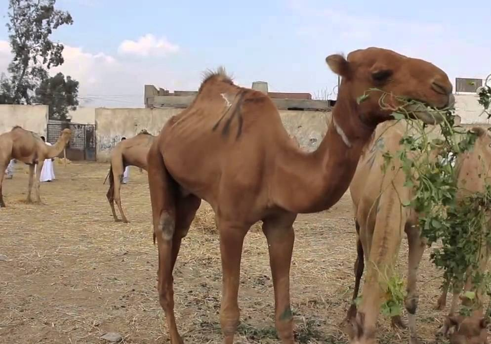 Birqash Camel Market (Souq al-Gamaal) Tour in Cairo (On Fridays only)