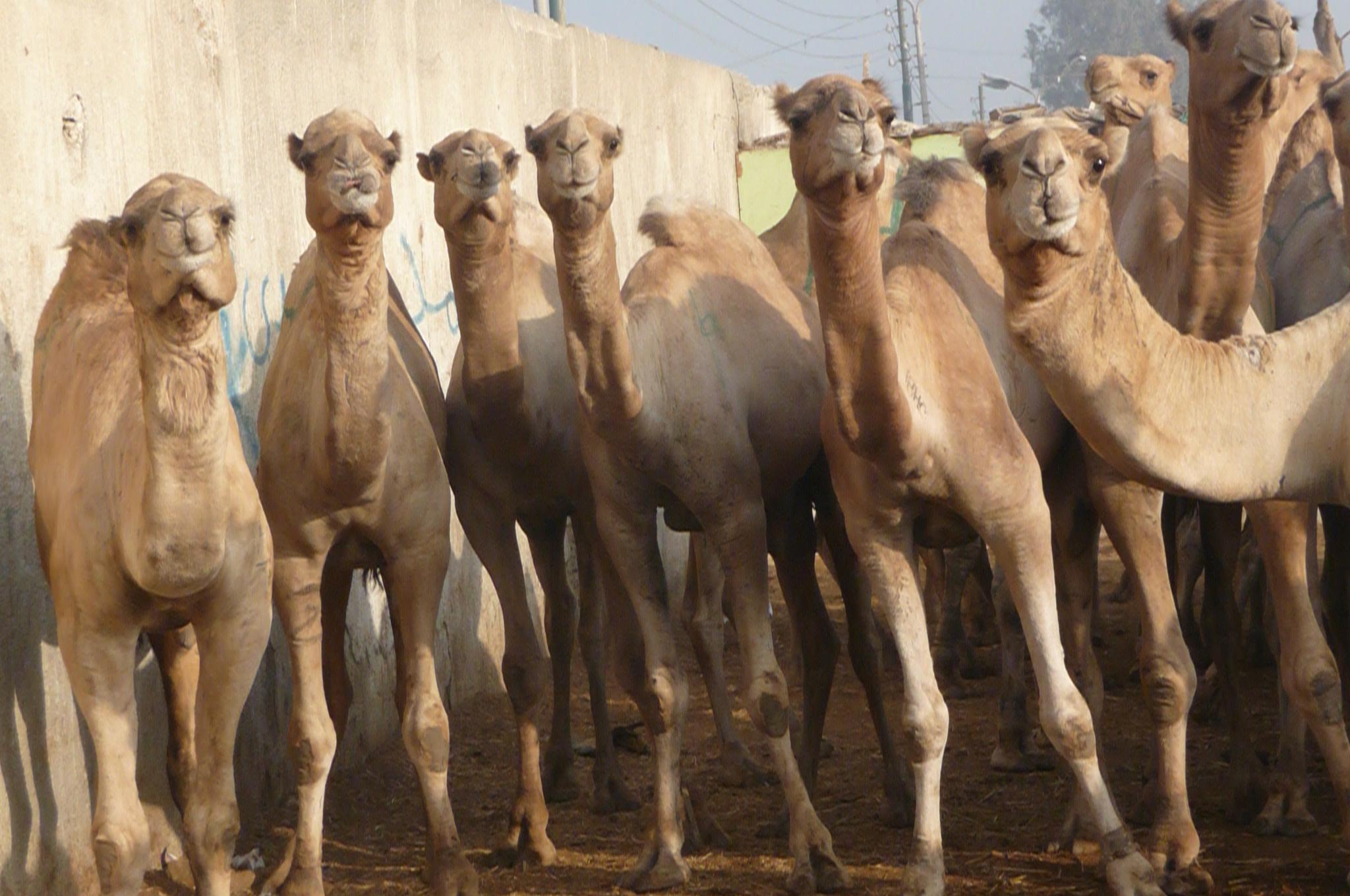 Trip to Camel Market of Darau (On Tuesdays)